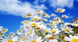 Ромашка Аптечная – Лечебные Свойства и Применение